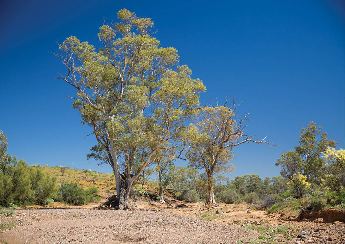 The most widespread eucalypt in Australia
